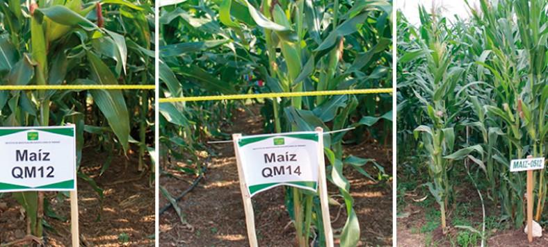 Productores de Darién, son capacitados en cultivos de maíz