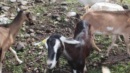 Evalúan raciones para alimentar cabras