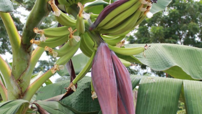 Convenio IDIAP – MIDA fortalece transferencia tecnológica en el cultivo de plátano