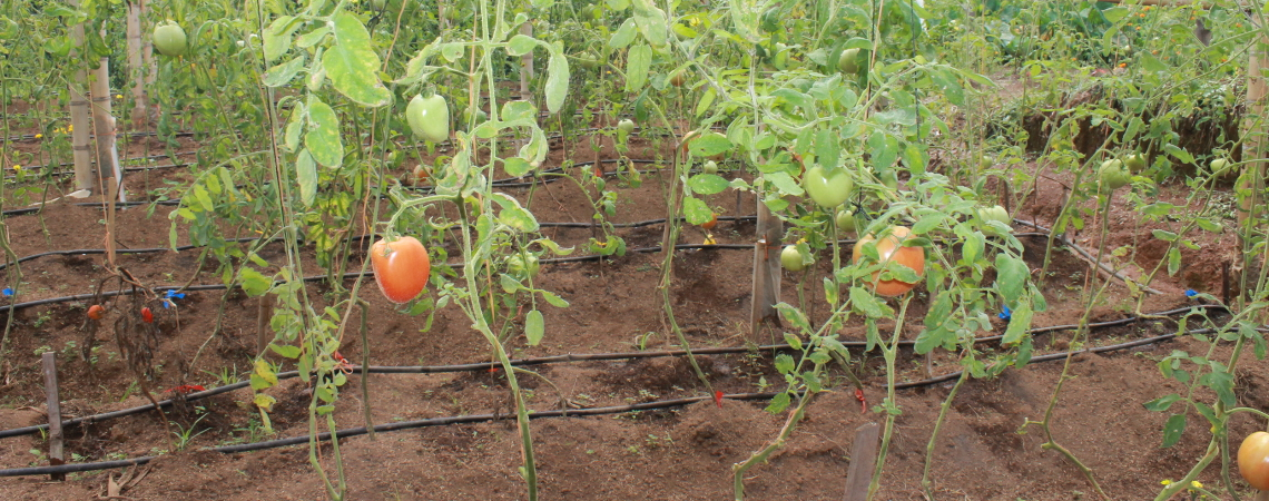 Líderes de los consorcios de hortaliza se reúnen para evaluar avances del proyecto PRIICA