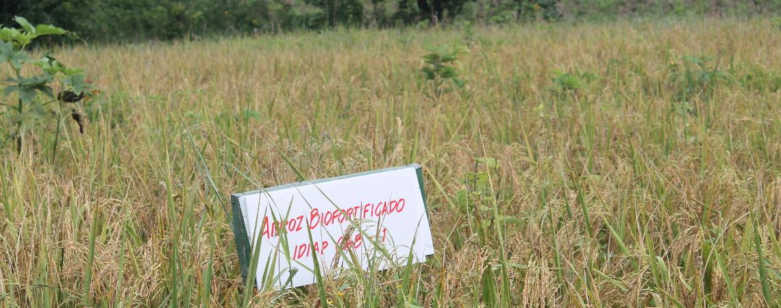Productores  de Agricultura Familiar trabajan con semilla de arroz  IDIAP GAB-11