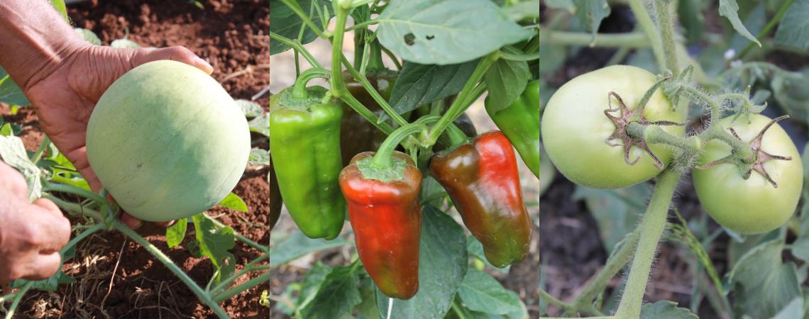 Productores del distrito de Calobre se capacitan en el cultivo del tomate