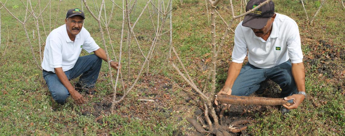 El encalamiento y la producción de yuca