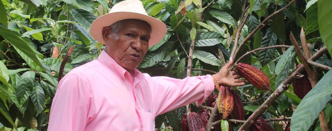 CCN 51, clon de cacao más productivo