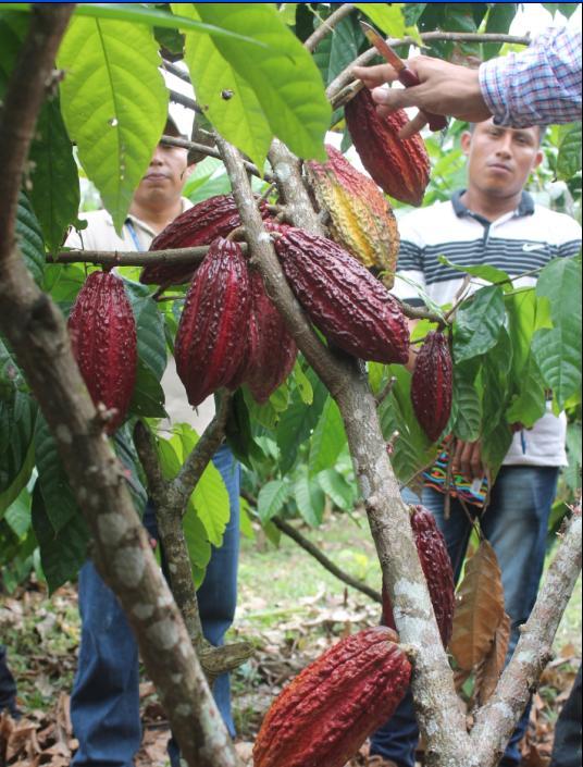 cacao_2