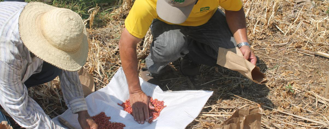 IDIAP multiplica semillas de poroto para próximo ciclo de siembra