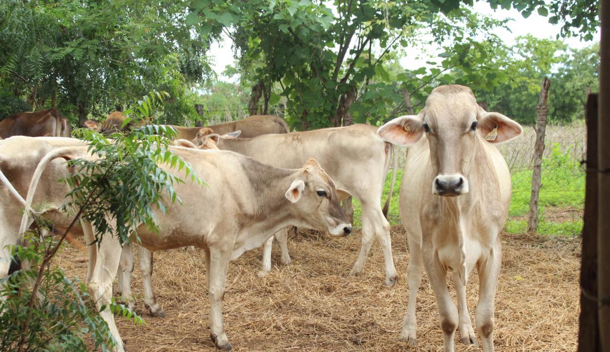 Proyectos de mejoramiento de bovino en evaluación