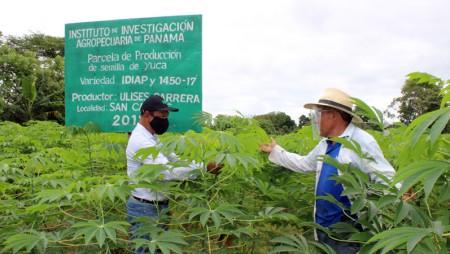 Productores aportan al Plan Panamá Agro Solidario con variedades de yuca del IDIAP