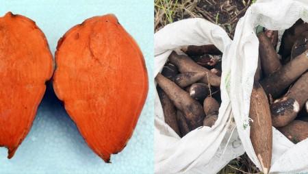 IDIAP entrega semillas de camote y yuca de alta calidad