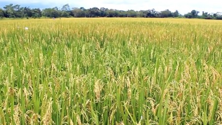 Promueven tecnologías agrícolas de variedades de arroz comercial